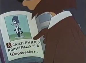 Campephilus principalis