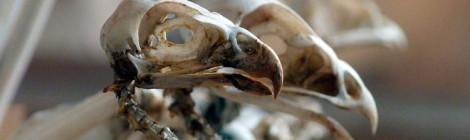 esqueleto ave