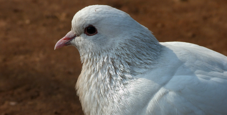 columba livia branca