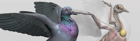 Release: 3D Bird Anatomy Software