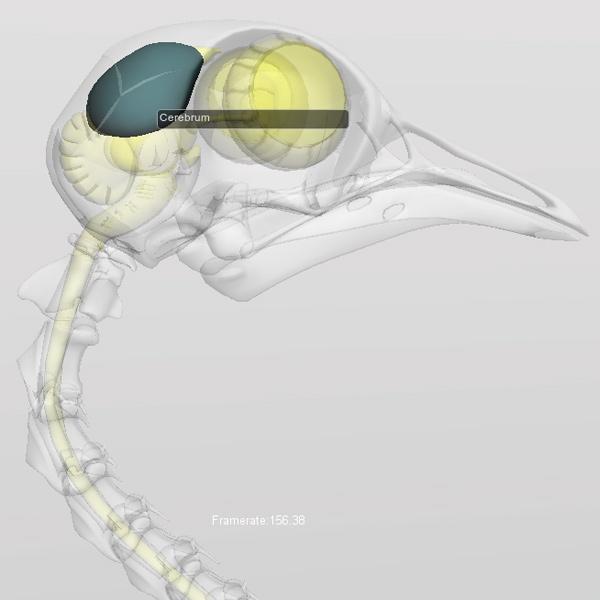 bird cerebrum