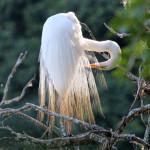 garça branca grande egretas