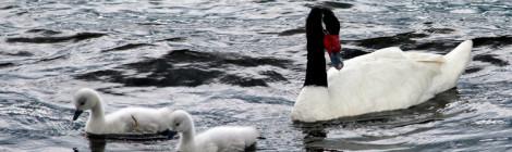 Cisne de pescoço negro