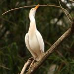 Garça-vaqueira (Bubulcus ibis)