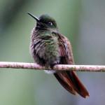 Beija-flor-de-veste-preta na Trilha dos Tucanos - Tapiraí