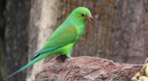 periquito-rico ou periquito-verde
