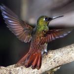 Beija-flor-rubi na Trilha dos Tucanos - Tapiraí