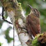 Arapaçu-grande na Trilha dos Tucanos - Tapiraí