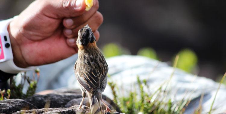 Tico-tico no Monte Roraima