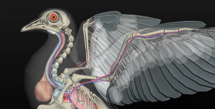 anatomia das aves