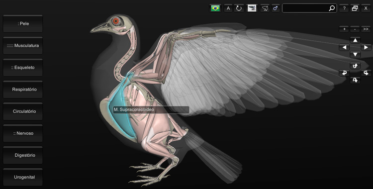 músculos do pombo