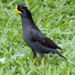 White-vented Myna
