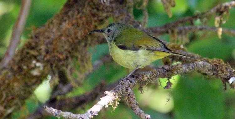 Green-tailed Sunbird Female