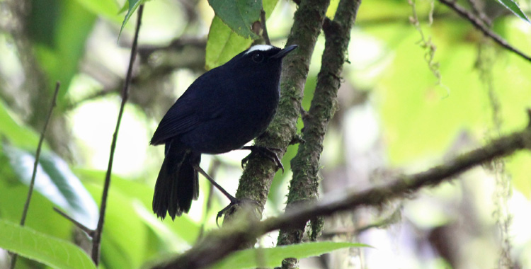 White-browed Shortwing Doi Inthanon