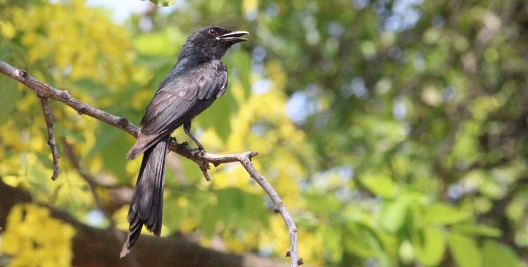 Black Drongo - Thailand