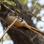 Small Minivet (Pericrocotus cinnamomeus)