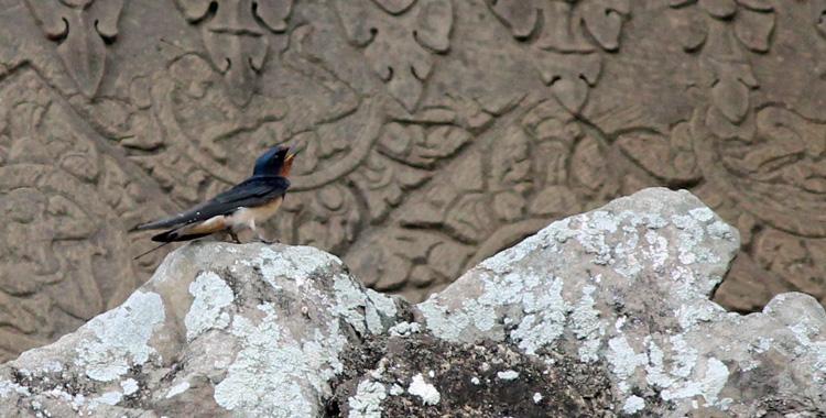 Barn Swallow em Angkow Wat