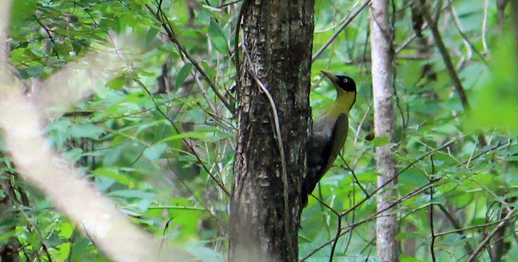 Black-headed Woodpeacker