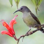 Green-tailed Sunbird, fêmea
