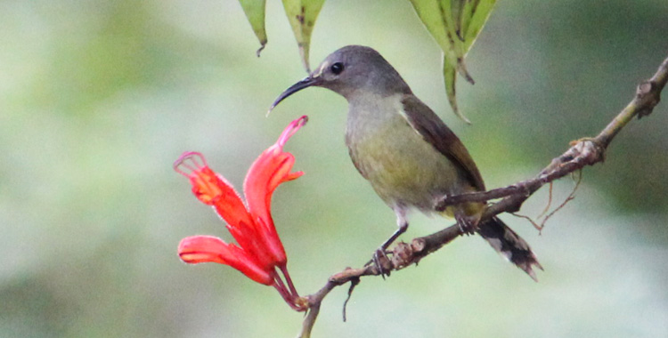 Green-tailed Sunbird, fêmea