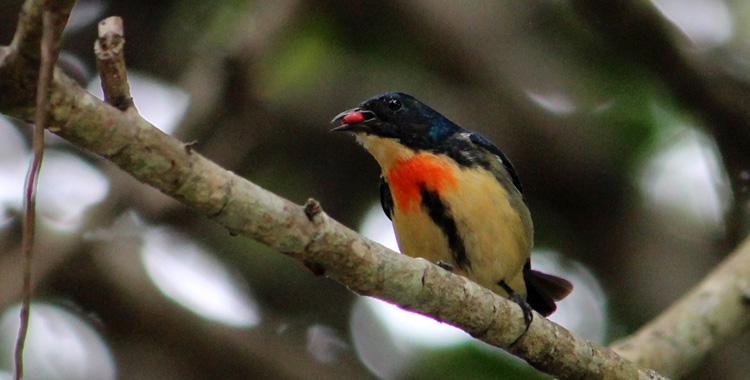 Fire-breasted Flowerpecker, macho