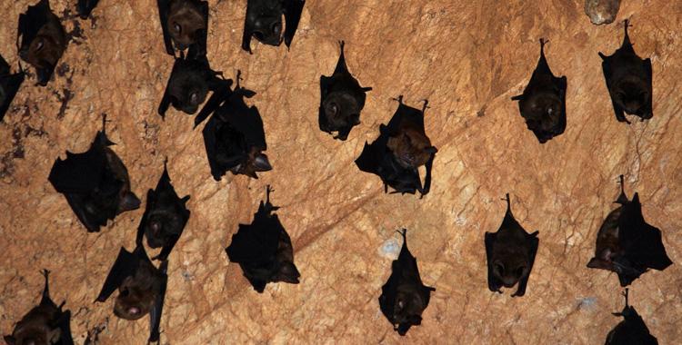 Morcegos na caverna de Chiang Dao