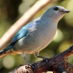 sanhaçu-de-encontro-azul