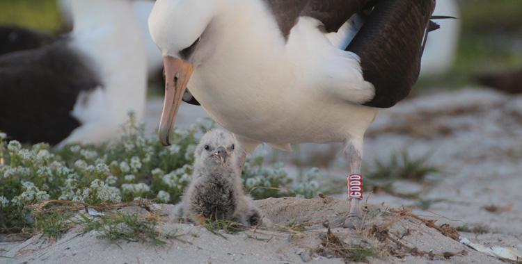 wisdom a albatroz de 65 anos