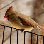 Northern Cardinal (Cardinalis cardinalis), fêmea