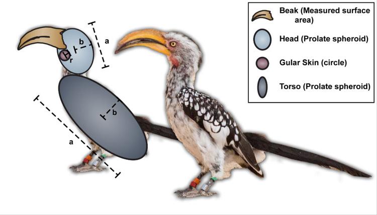 termorregulação em aves