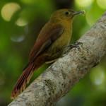 Arapaçu-verde (Sittasomus griseicapillus)