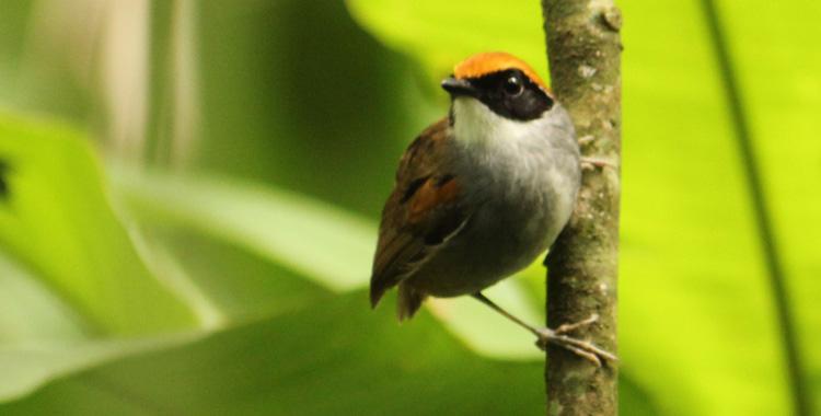 Cuspidor-de-máscara-preta (Conopophaga melanops)