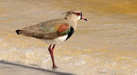 Quero-quero (Vanellus chilensis)