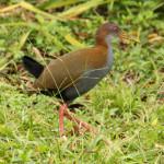 Saracura-do-mato (Aramides saracura)
