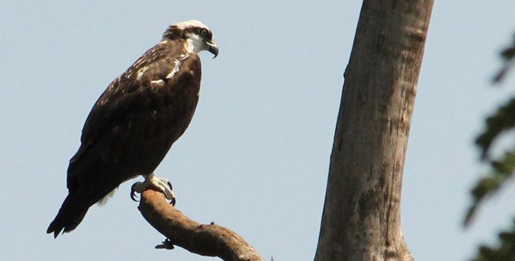 águia-pescadora na unicamp