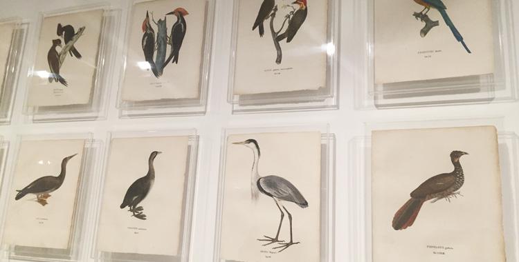 Gravuras de aves na Coleção Brasiliana