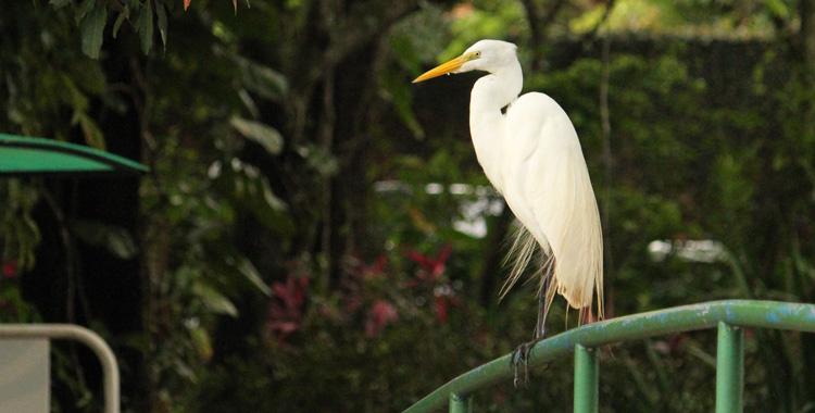 Garça-branca no Parque Ecológico Prof. Hermógenes F. Leitão Filho