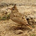 Cogujada común (Galerida cristata)