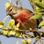 Pardillo común (Carduelis cannabina)