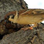 Gorrión molinero (Passer montanus)