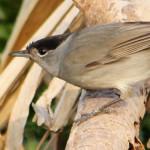 Curruca capirotada (Sylvia atricapilla)