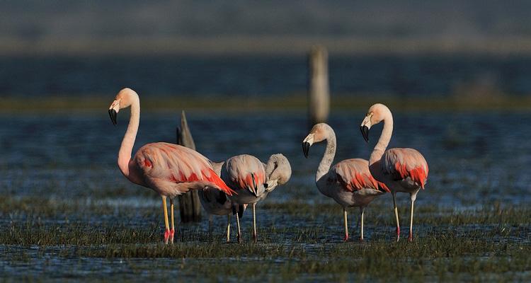 flamingo chileno