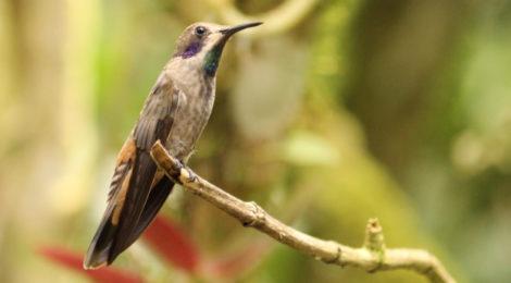 Observando aves em Mindo, Equador