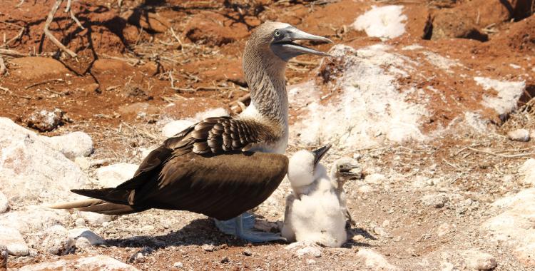 Atobá-de-pé-azul com filhotes