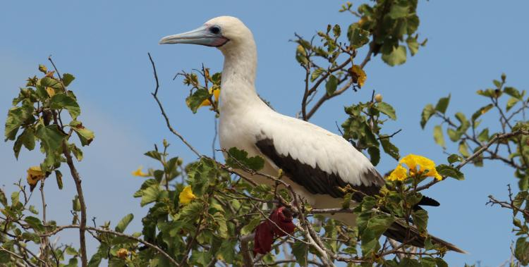Atobá-de-pé-vermelho