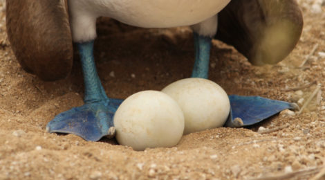 atobá-de-pé-azul e ovos