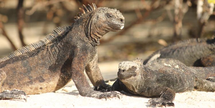 Iguana marinha de Galápagos