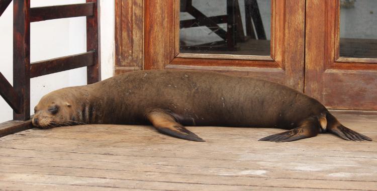 leão-marinho em San Cristóbal
