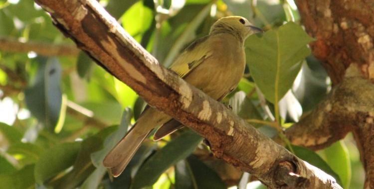 sanhaço-do-coqueiro
