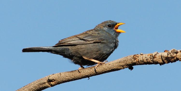 Galeria de fotos: Aves da Cadeia do Espinhaço, MG